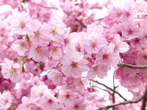 Voyage au Japon : Sakura 2018
